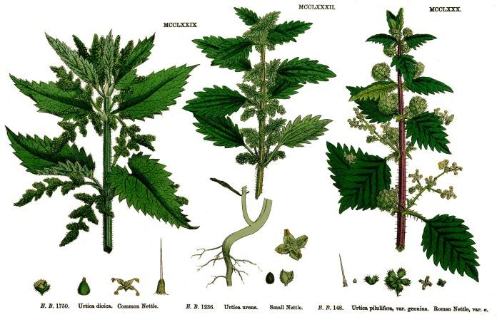Herbalism: Stinging Nettle | drink tea, dream loftily, repeat ...